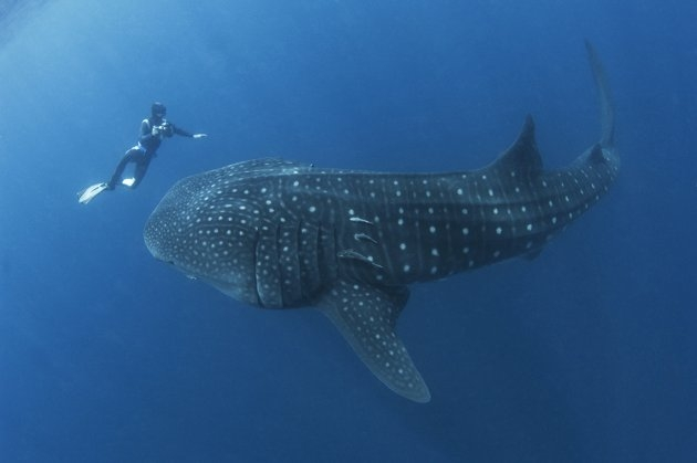 El tiburón más grande del océano